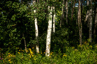 Horicon Marsh Birch Grove II